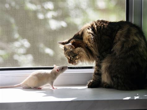 cat rat wallpaper proxecto gato cats wallpapers by bighdwallpapers