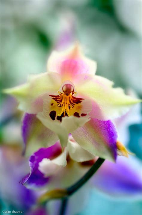by alan shapiro beautiful flowers pinterest snuggles climbing 169 2012 alan shapiro orchids pinterest orchids