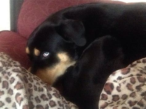 rottweiler mixed with husky for sale rottweiler cross husky for sale basildon essex pets4homes