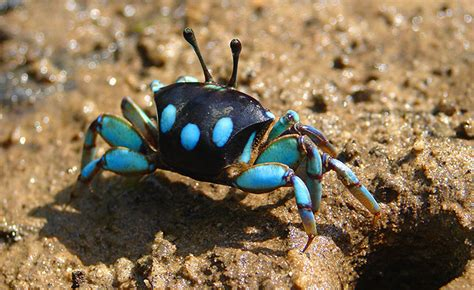 colorful crab colorful fiddler crabs of borneo mysabah