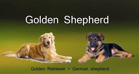 golden shepherd puppies golden shepherd characteristics appearance and pictures