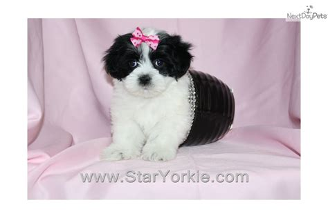 smith havanese havanese puppy for sale near los angeles california 2b1bfd8c 44e1