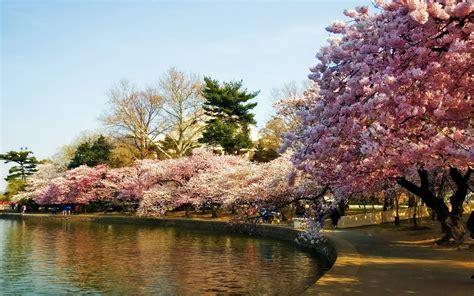cherry tree wallpaper cherry blossom tree desktop wallpaper this wallpaper