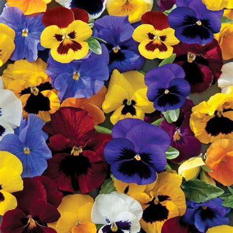 fiori pensiero viola pensiero piante da giardino coltivazione viole