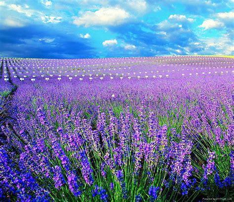 dried lavender flower qdhj china trading company