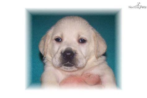 akc yellow lab puppies for sale labrador retrievers for sale puppies in ga design bild