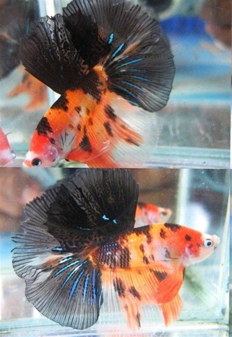 orange koi dragon with blue 17 best images about betta fish on copper