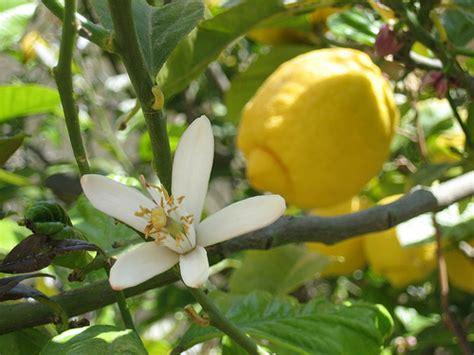 fiore di zagara zagara cura dei fiori delle piante d appartamento e