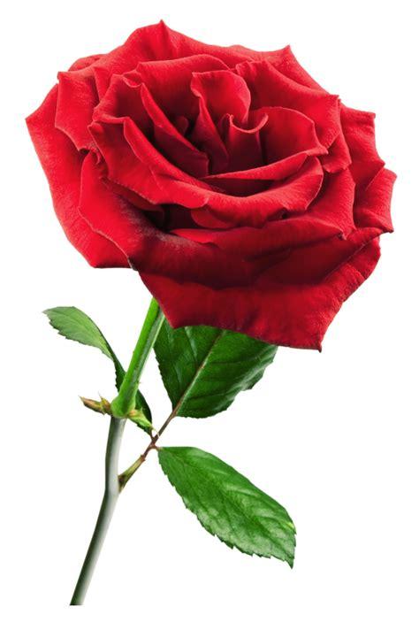 42018 Flowers Blouse Blouse Merah Mawar rosavecina net rosa en formato png im 193 genes formato png flowers