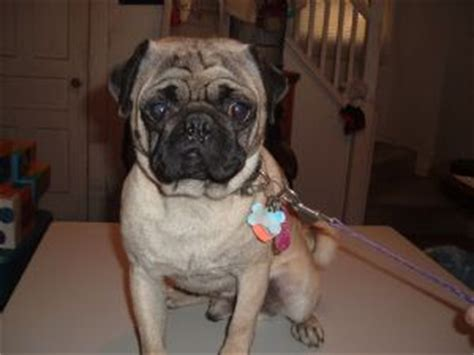 pugs for sale toledo ohio pug puppies in ohio