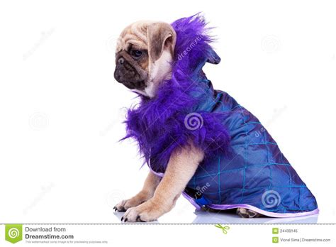 pug puppy clothes side view of a pug puppy wearing clothes royalty free stock photo image