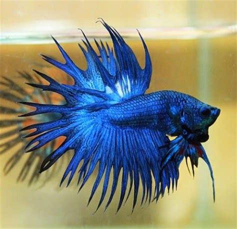 Lu Aquarium Bandung 1395 best aaa bettas luchador de siam images on