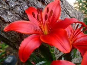 flowers wallpapers red lilies flowers wallpapers