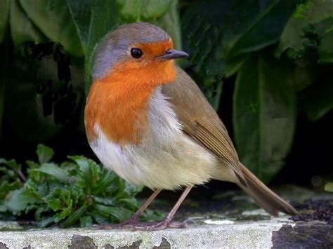 33 best robin red breast images on pinterest european