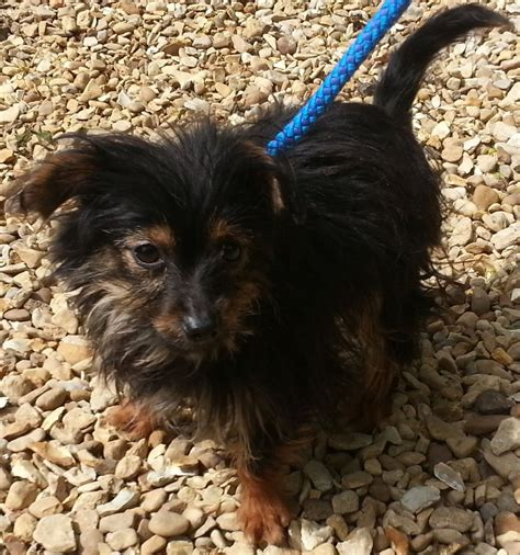yorkie rescue dogs rescue imp puppy yorkie cross peterborough cambridgeshire pets4homes
