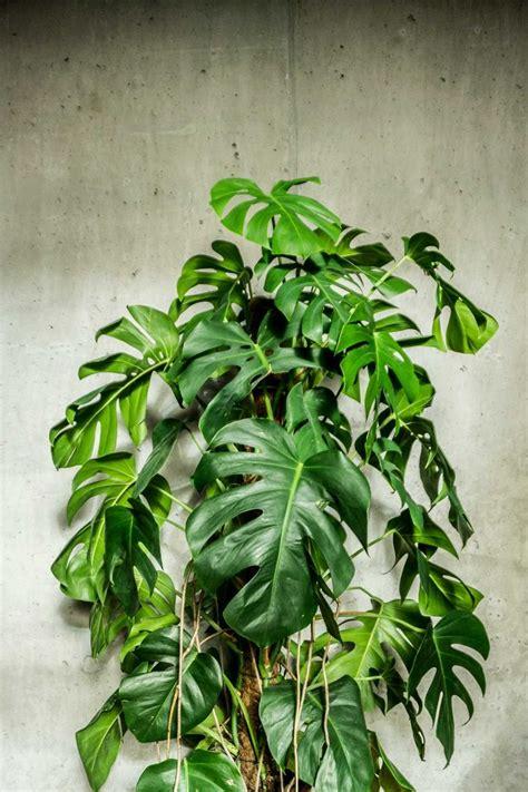monstera deliciosa  sitsitsocom   beautiful plant
