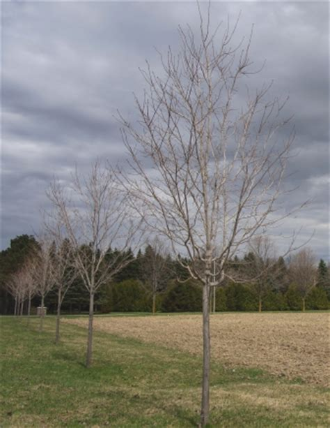 pruning sugar maple trees maple leaves forever