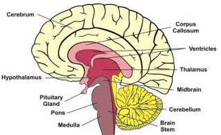 brain stem diagram the without a cerebellum mysteries