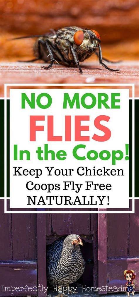 backyard chickens and flies 17 best images about homestead chickens on pinterest the