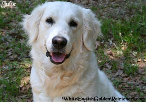 white golden retriever puppies florida white golden retriever dogs puppies breeders florida