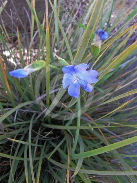 orthrosanthus multiflorus morning flag blue flag