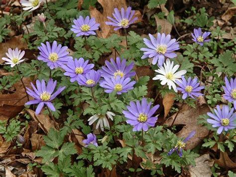 anemone blanda anemone blanda greek windflower go botany