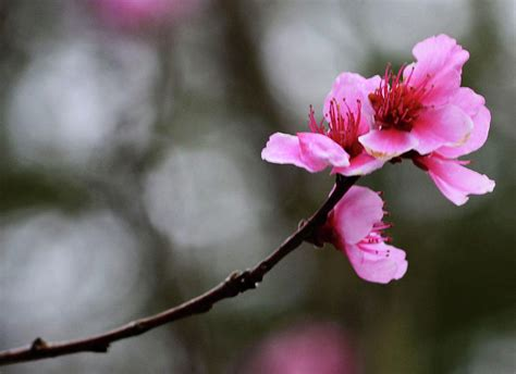 single cherry blossom by eva thomas