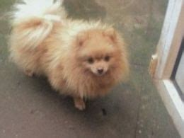 how is a pomeranian 12 minutes pomeranian breed information facts photos care pets4homes