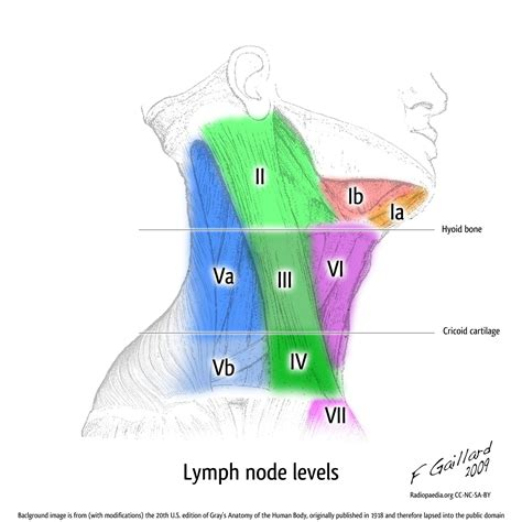 neck lymph node locations diagram lymph nodes diagram neck anatomy organ