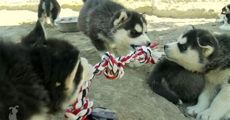 tug of war with puppy white wolf siberian husky puppy baby tug of war