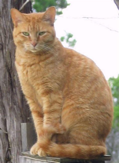 Orange Tiger Cat Breed