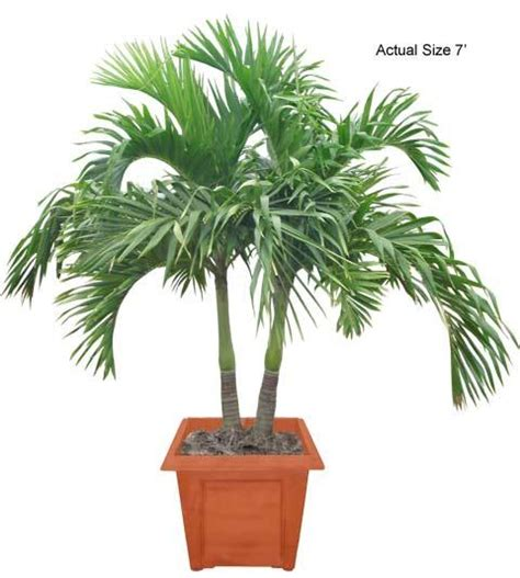 multi stem christmas palm tree veitchia merrillii