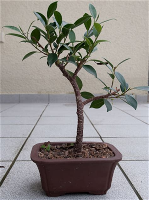 bonsai selber ziehen bonsai selber ziehen bonsai selber ziehen ebenbild das