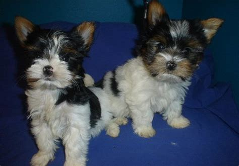 yorkie puppies for sale melbourne terrier melbourne dogs for sale puppies for sale melbourne 517770