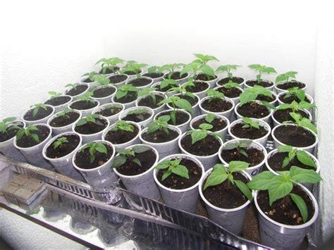 coltivazione peperoncino in vaso peperoncino pianta aromatiche scopri la pianta