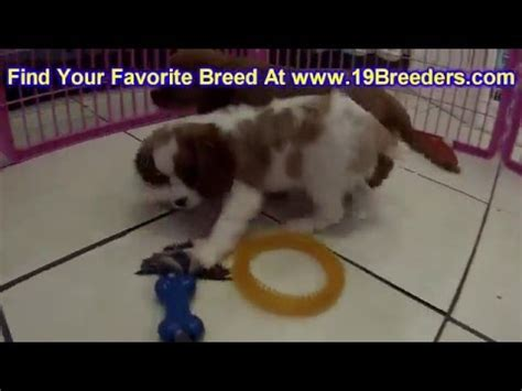 beagle puppies for sale in nc greensboro cairn terrier puppies for sale in des moines iowa ia bettendorf marion cedar