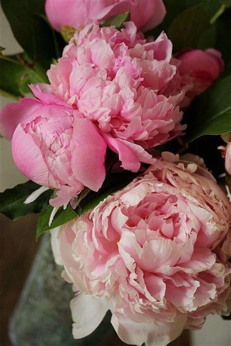 pink peonies instagram peony flickr peonies roses pinterest pink peonies instagram and love you to