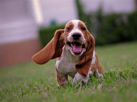 bassett hound puppies basset hounds running the absolute best gallery of running basset hounds on the