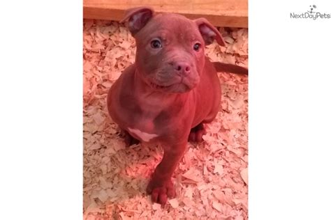 pitbull puppies for sale in greenville sc american pit bull nose brown pit bull terrier for sale in