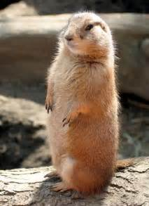 holly anthony our very own pet prairie dog