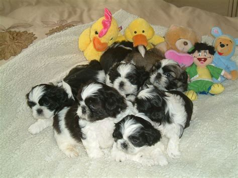 shih tzu for sale nh shih tzu puppies for sale in manchester nh