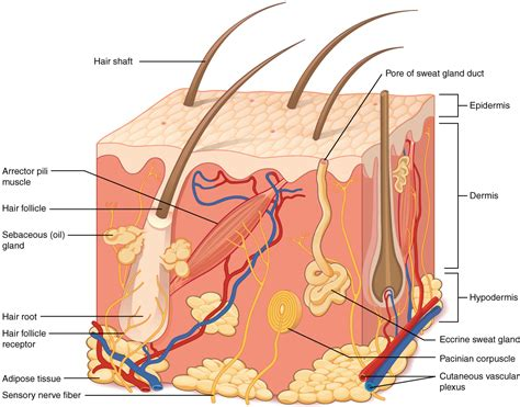 cross section of the skin 5 1 layers of the skin anatomy and physiology