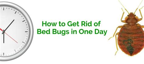 How To Get Rid Of Bed Bugs In A by How To Get Rid Of Bed Bugs In One Day Erdye S Pest