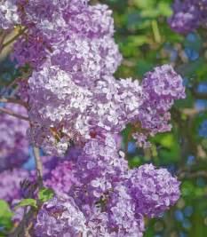 how to prune lilac bushes blain s farm fleet blog