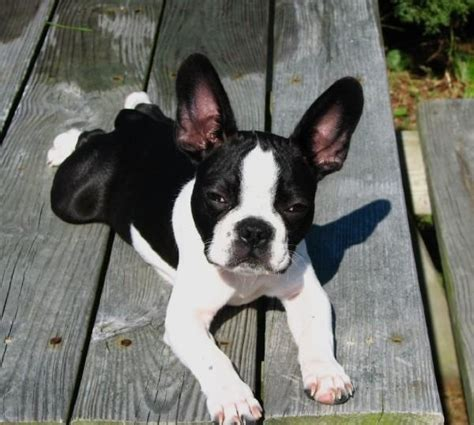 frenchton puppies frenchton bulldog boston terrier mix info temperament puppies pictures