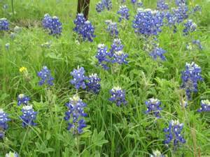 this field has a spectacular mixture of bluebonnets and