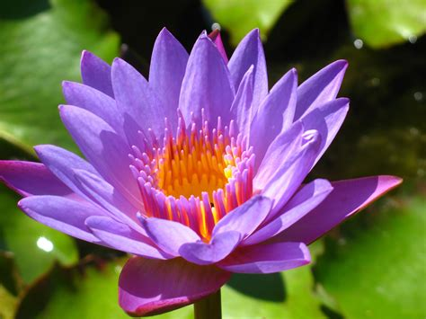 water lily flower with lion lotus flower japanese