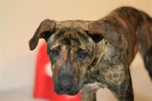 brindle colored dogs what breeds light colored brindle coats hd