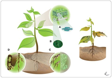 Journal Of Plant Disease - frontiers the microbe free plant fact or artifact plant science