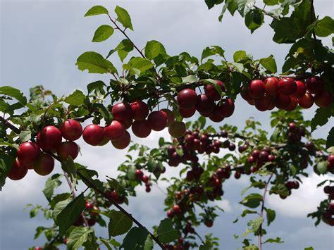 cherry plum trees varieties bing images